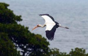Burung Bangau Hampir Punah Forestation Fkt Ugm